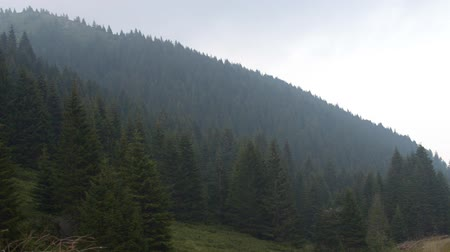 Panning to the left over conifer trees of forests on a mountain, at foggy and cloudy day. Stock Footage