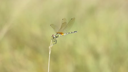 renowned : Dragonfly on the fields
