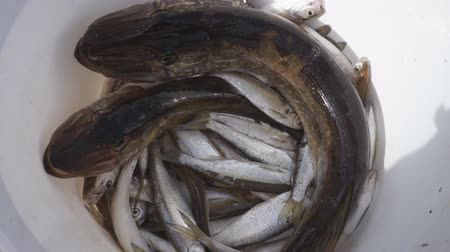 small river fish in a rectangular plastic bucket.