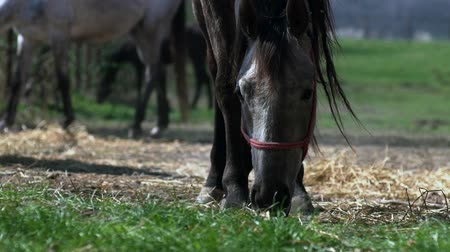 arabian horses : Horse eating grass in stable