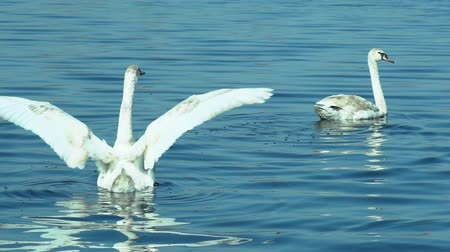 sourozenci : Swans swimming on lake
