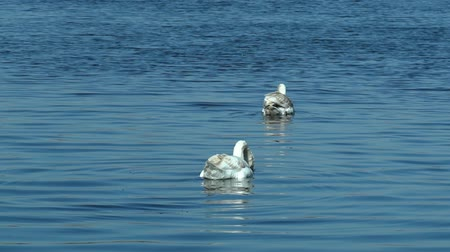cisnes : Swans swimming on lake