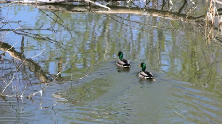 авес : Ducks swimming in the river Стоковые видеозаписи