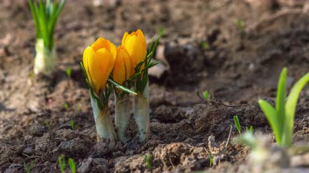 çiğdem : first yellow crocus flowers, spring saffron