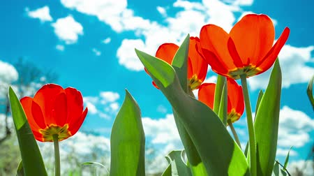 spring flowers : Yellow and red tulip