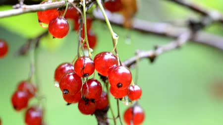 смородина : A branch of red currant with green leaves. Red currant. Vitamins beneficial to health.