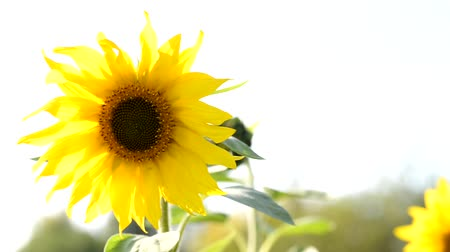 sunflower seed : Yellow sunflower in an agricultural field in summer. Sunflower in the morning sun in a park.