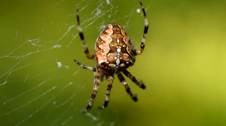 cross spider : Spider cross Spider a cross on a web in dew. Drops of dew on a web close-up