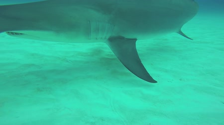 hammerhead : Hammer fish floating underwater. Ocean wildlife. Deepness. Dangerous. Diving Blue water Stock Footage