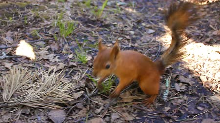 palm squirrel : Small sweet Red Squirrel Takes a Nut From Hand in the forest, closeup. Stock Footage