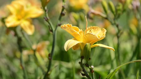estame : Yellow Lilly Blowing in the Wind Stock Footage