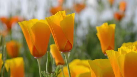 napfény : Orange Poppy Flowers