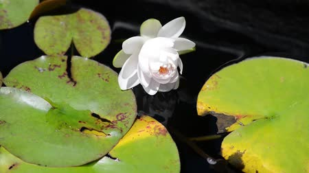 White Lotus or Water Lilly in a Pond
