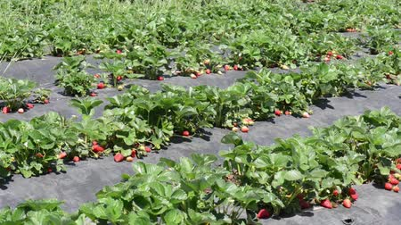 üretmek : Strawberry Patch or Field