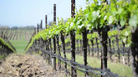 долина : Vineyard in California Стоковые видеозаписи