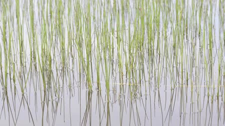 szalma : Reeds in a Pond Reflecting in the Water