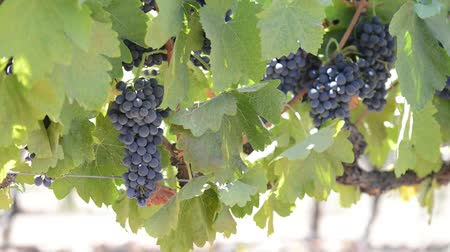 winogrona : Red Grapes on the Vine Wideo