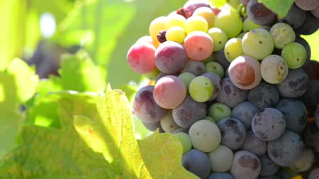 долина : Colorful Grapes on the Vine Стоковые видеозаписи