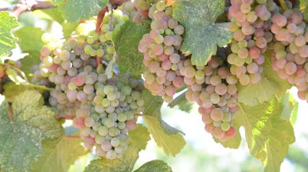 winogrona : White Wine Grapes on the Vine