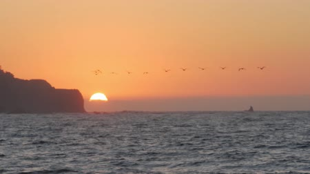 pelikan : Pelicans Land In Water - Sunset