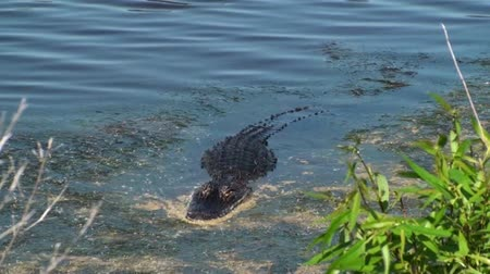 réptil : American Alligator coming into shore