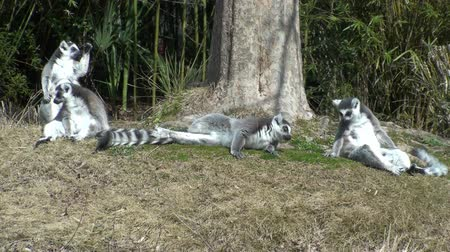 Мадагаскар : Lemurs playing around the tree