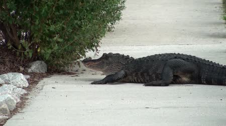 agressief : Alligator op de stoep Stockvideo