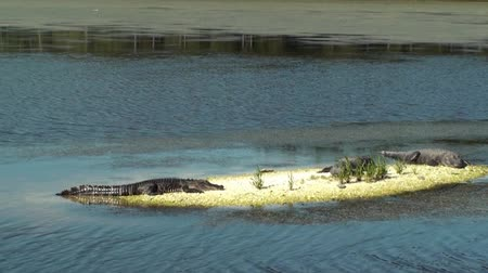 agressief : Drie Alligators vangen sommige zon