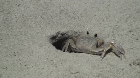 crustáceo : Ghost crab returning to his hole Vídeos