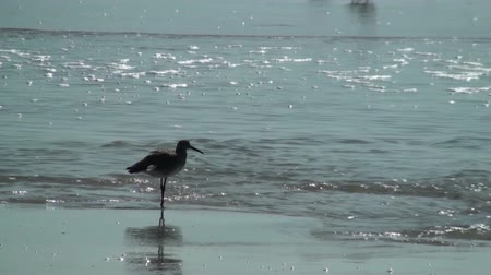 животное : Bird watching the tide Стоковые видеозаписи