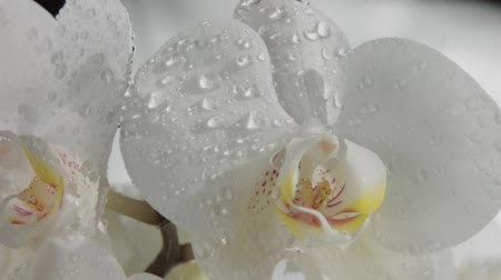 fragilidade : clseup of blossom orchids covered by water drops. Falling rain water spray drops slowmotion from 120 fps