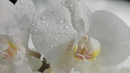 kırılganlık : clseup of blossom orchids covered by water drops. Falling dropsof water slowmotion from 120 fps. Big slow fallin water dops Stok Video