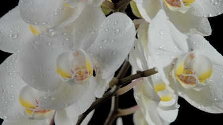 fragilidade : clseup of blossom orchids covered by water drops. tilt camera movement