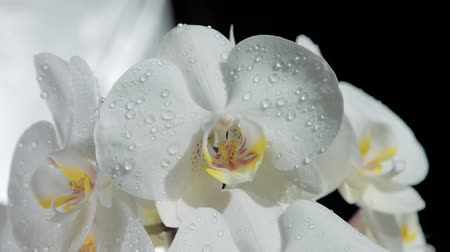 хрупкость : camera moves around of blossom orchids covered by water drops.