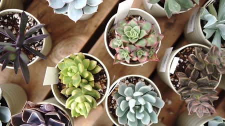 seedlings : Succulent plant taken from directly above Stock Footage