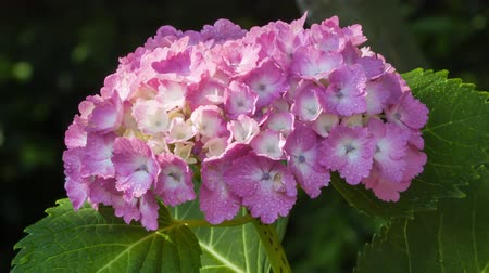 ortanca : Hydrangea flowers swaying in the wind.