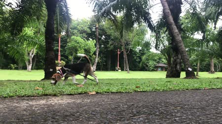 pace : Young and cute female beagle dog walking in the park. Tropical island of Bali, Indonesia.