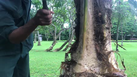 sawn : Indonesian man cutting a palm tree in the park. Bali island, Indonesia.