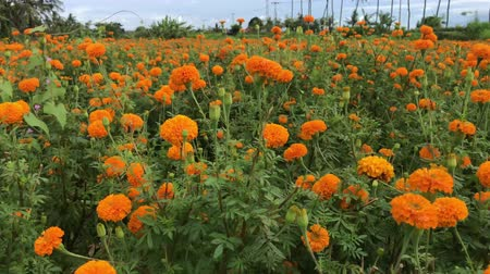 marigold flower : Marigold field, Indonesia, Bali. Sunny day.