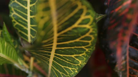 amazonka : Tropical leafs jungle background. Closeup,
