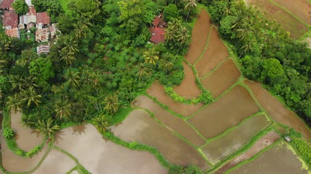 食物 : Flying over rice terrace fields, green 4K drone footage. Bali island, Indonesia.