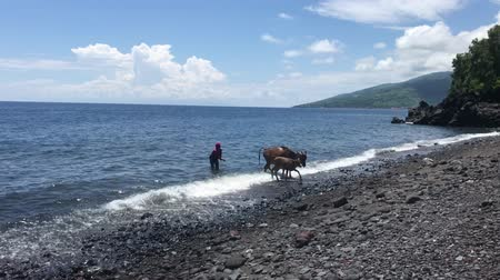 BALI, INDONESIA - FEBRUARY 20, 2019: Woman with cow on the black sand beach.