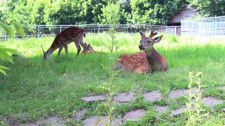 jelen : footage of the group deer in a zoo Wideo