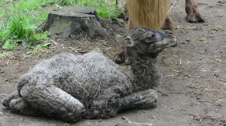 born calf : First hour of a Bactrian camel Camelus bactrianus baby