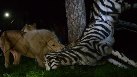 hırpalamak : White South African lions Panthera leo Kruger attack and maul a fake zebra at night