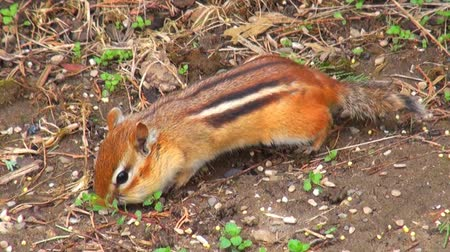roedor : A small chipmunk looking for seeds scattered on the ground