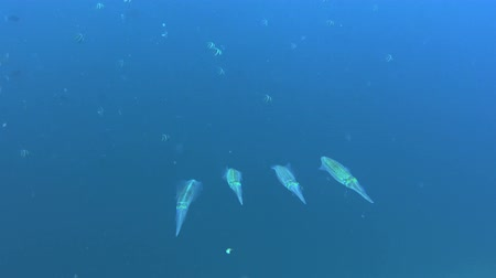 kalmar : Group of squids in front of the blue ocean at the edge of a coral reef