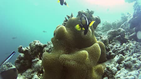 anemon : Clownfish surrounding their beautiful anemone near an islands coral reef Stok Video