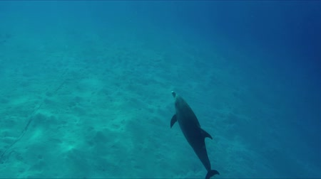 dolphin : Dolphin swimming calmly through light-flooded ocean