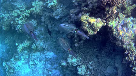 кальмар : Group of squids next to a coral reef Стоковые видеозаписи